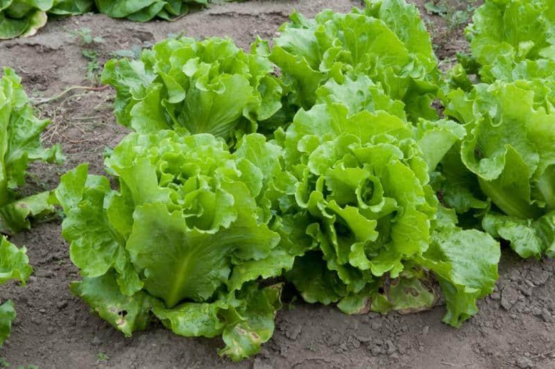 batavian Lettuce flickr