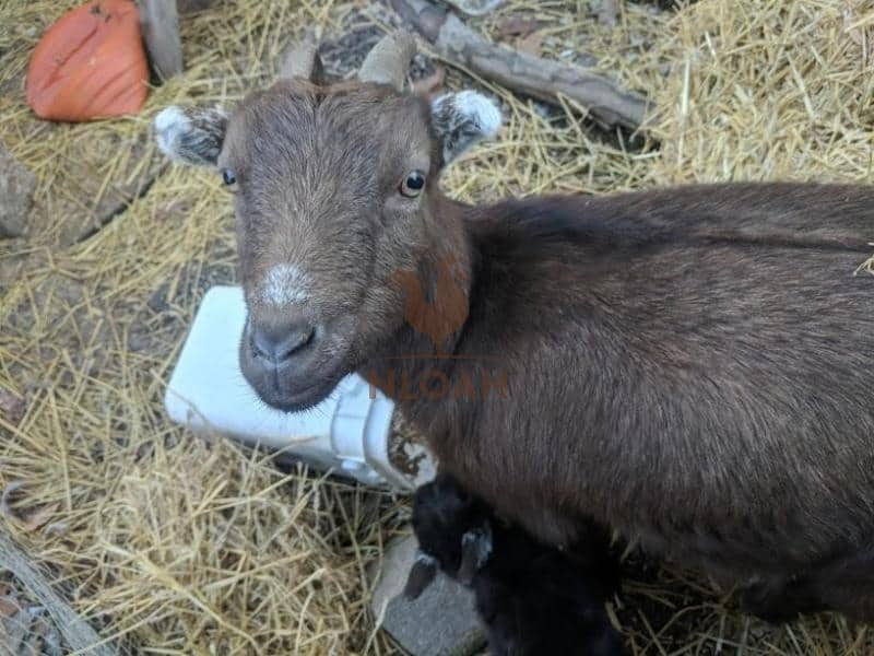 goat with her baby