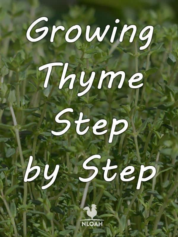 growing thyme pinterest