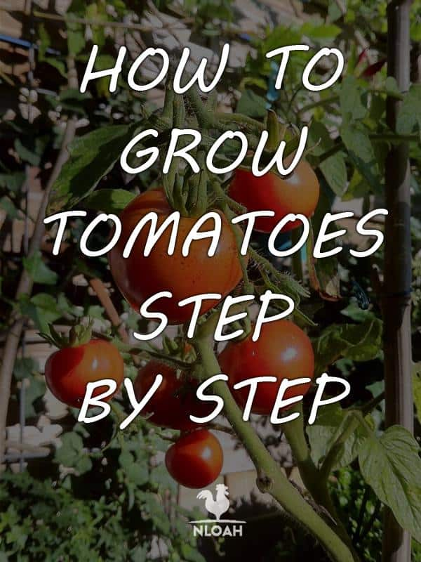 growing tomatoes pinterest