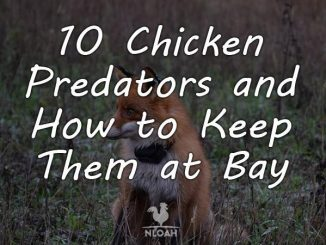 chicken predators featured