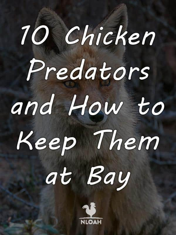chicken predators pinterest