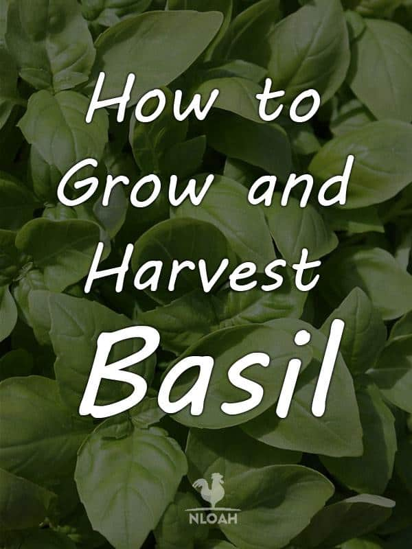 how to grow basil pinterest
