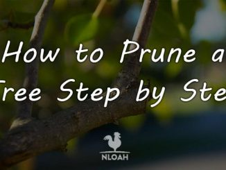 how to prune a tree featured