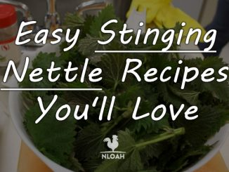 stinging nettle recipes featured