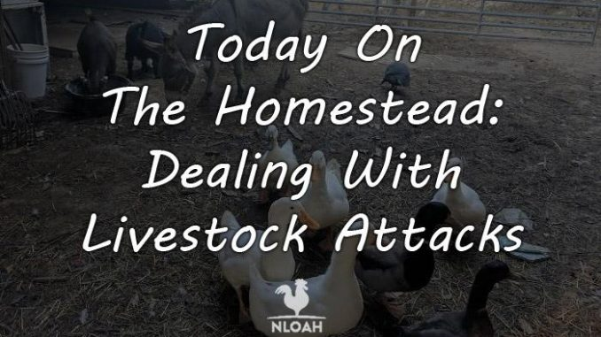 today on the homestead Dealing With Livestock Attacks feature