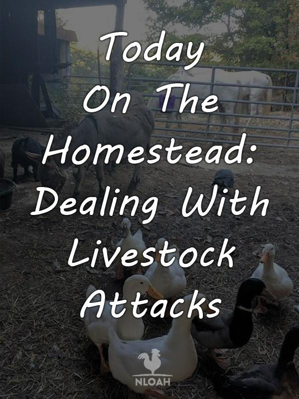 today on the homestead Dealing_With Livestock Attacks pinterest