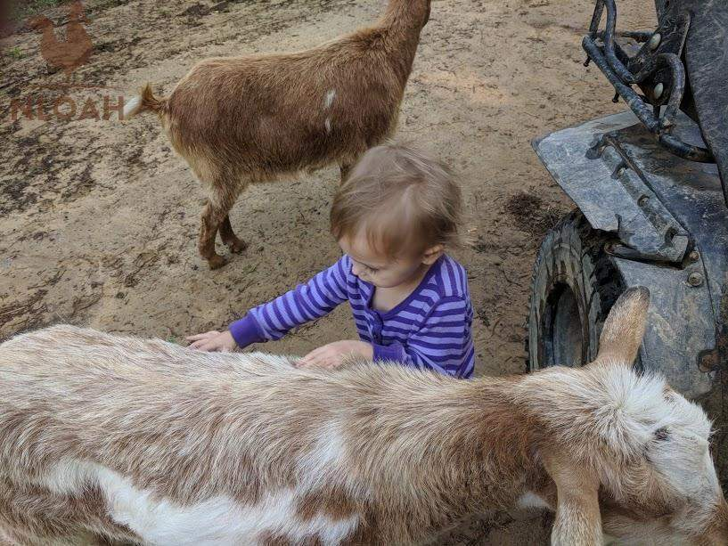 child playing with goat