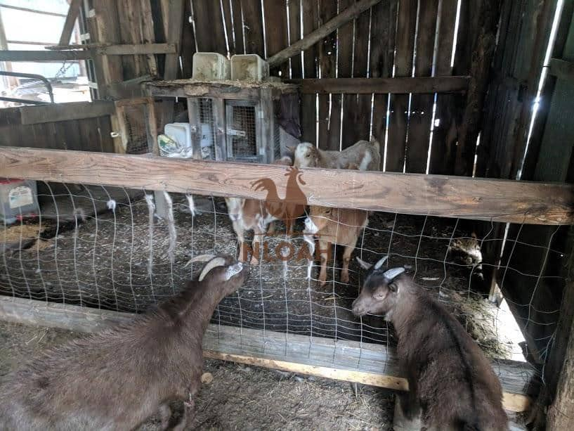 goats meeting each-other for the first time