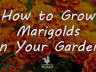 growing marigolds cover