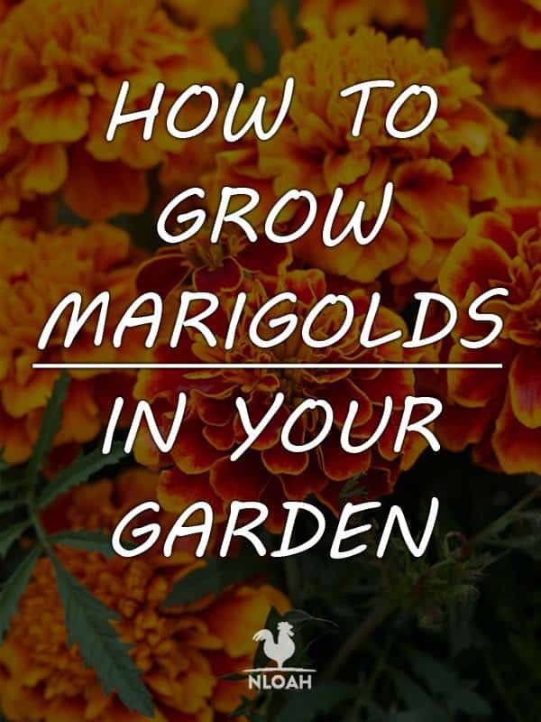 growing marigolds pinterest