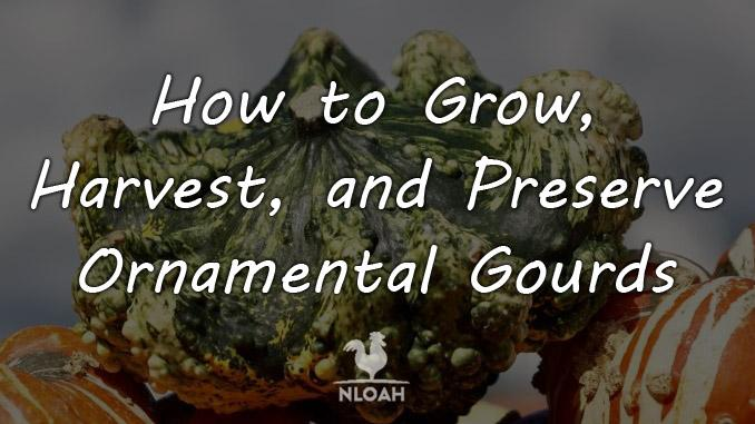how to grow ornamental gourds cover
