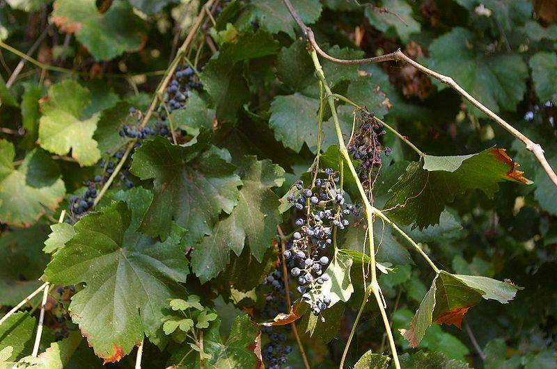 Vitis californica with grapes