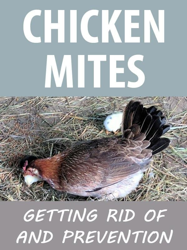 chicken mites pinterest