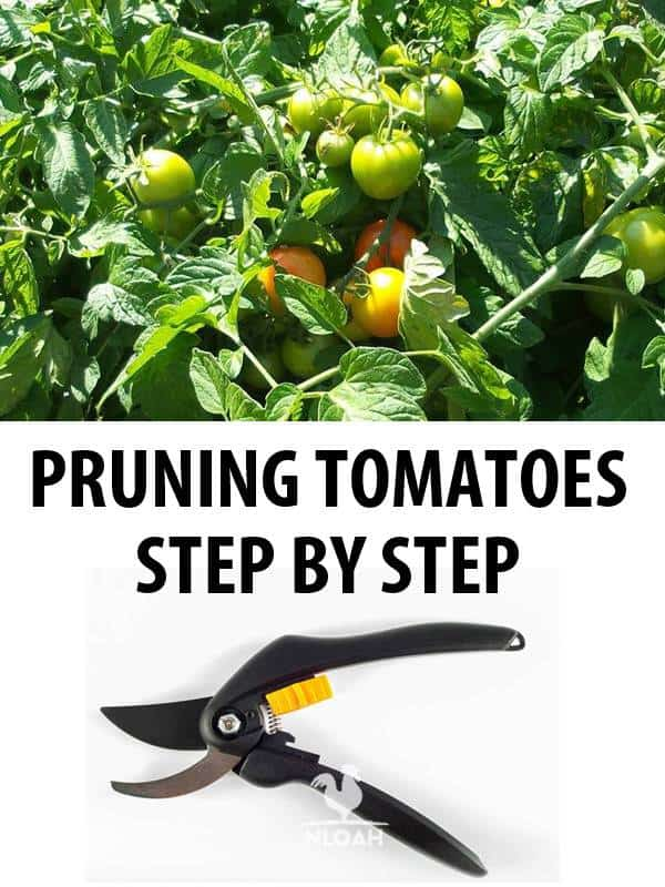 pruning tomatoes pinterest