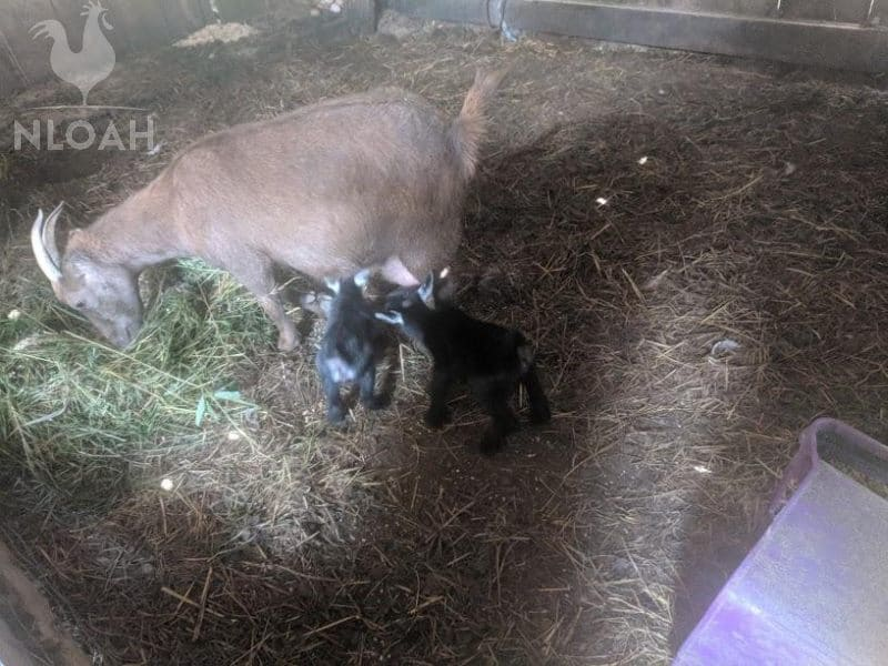 goat and her newborn babies
