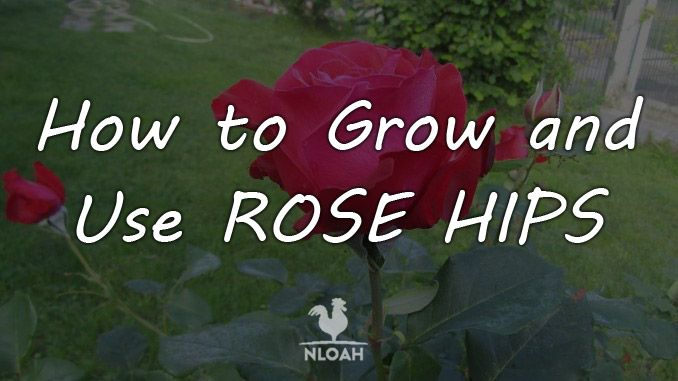 rose hips cover