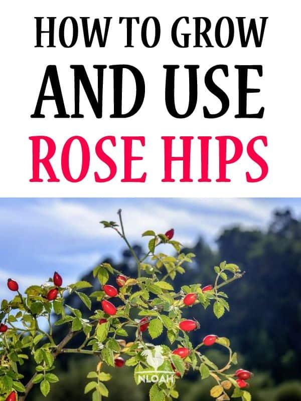 rose hips pinterest