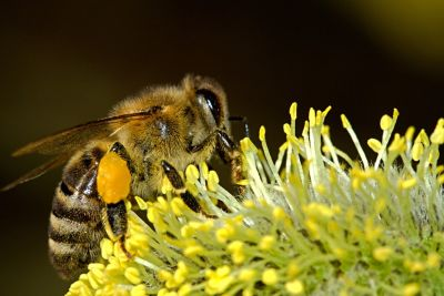 bee polliniating a plant