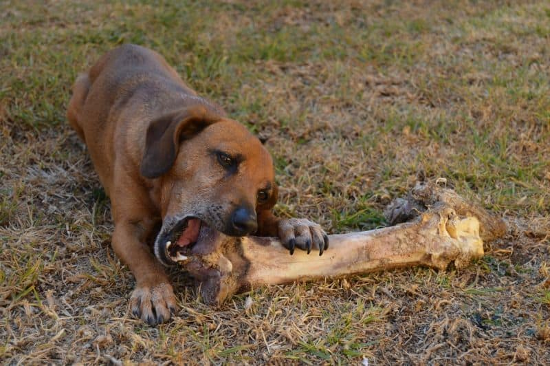 dog eating a big bone