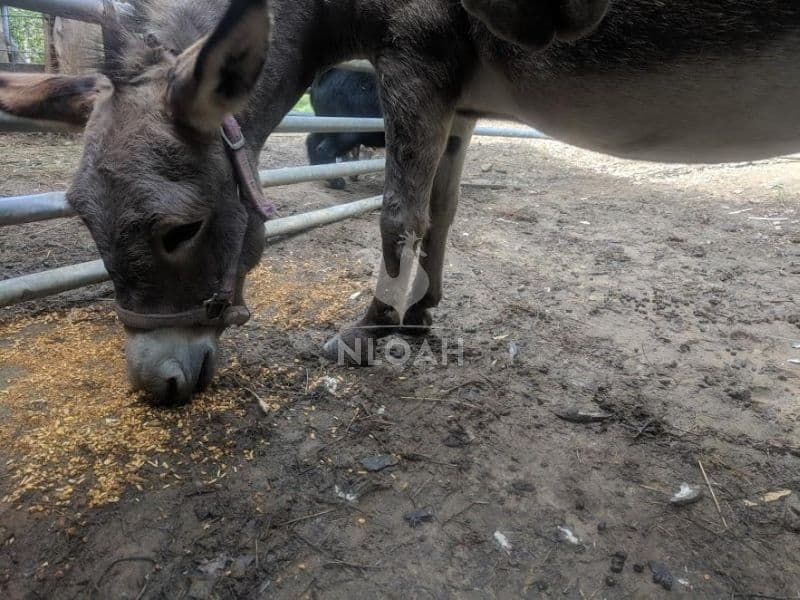 miniature donkey eating