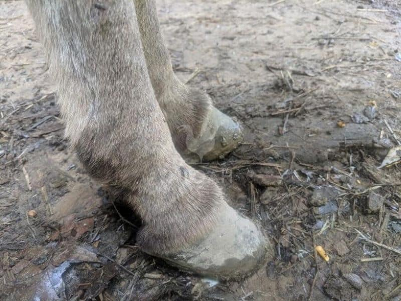 miniature donkey hooves