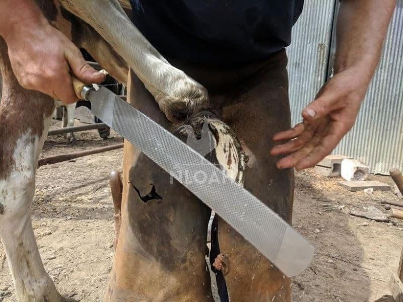 removing shoe from a horse