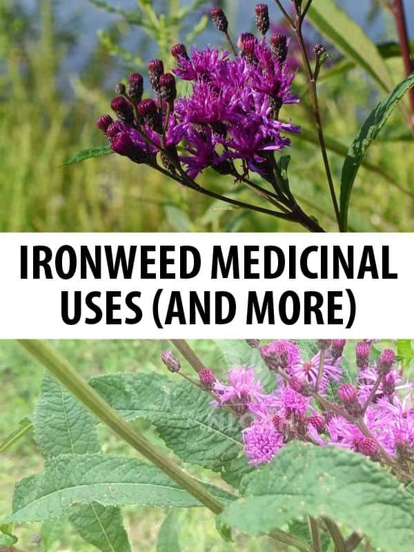 ironweed pinterest