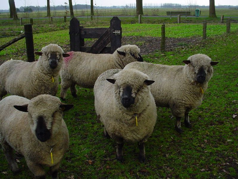 Hampshire sheep