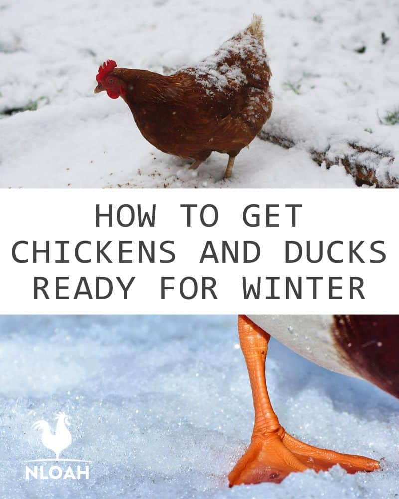 chickens ducks ready for winter pin