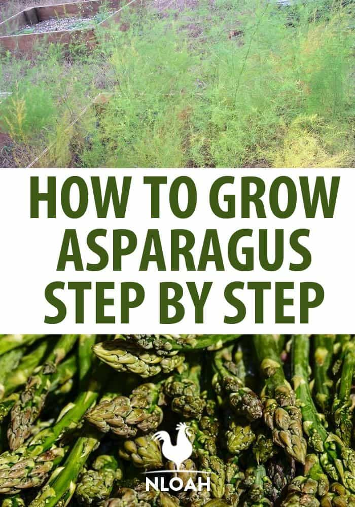 growing asparagus pin