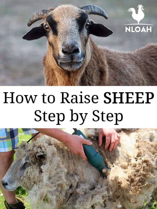 raising sheep pinterest