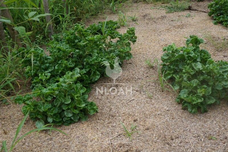 NATIVE PLANTS GROUND COVER SHEET MULCH
