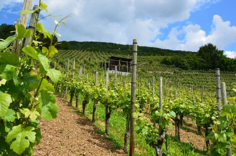 vineyard on a slope