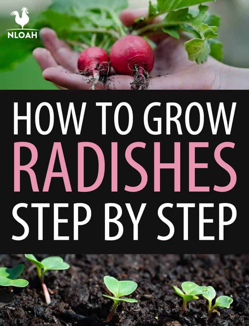 growing radishes pinterest
