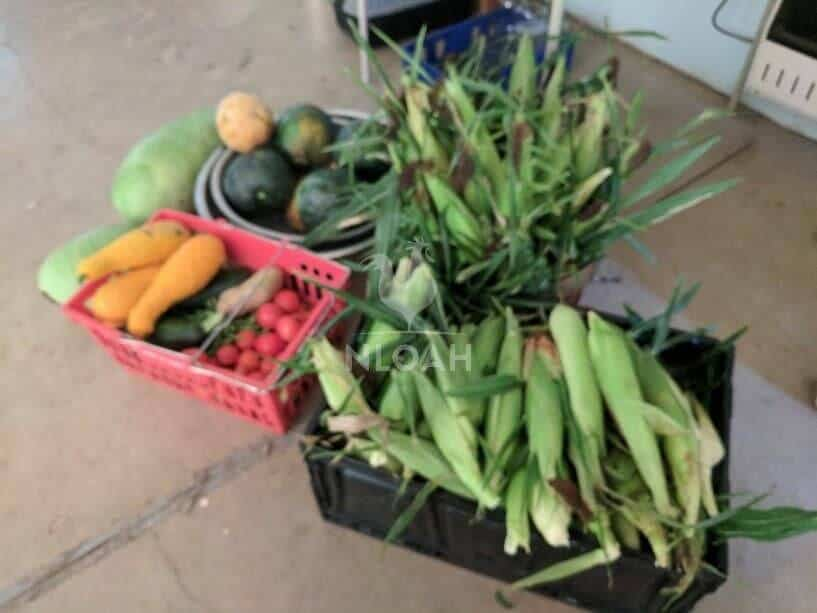 harvested corn and other veggies