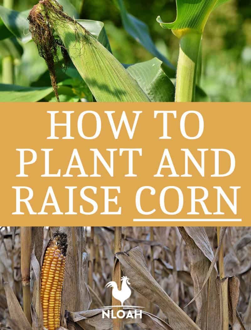 how to plant corn pin