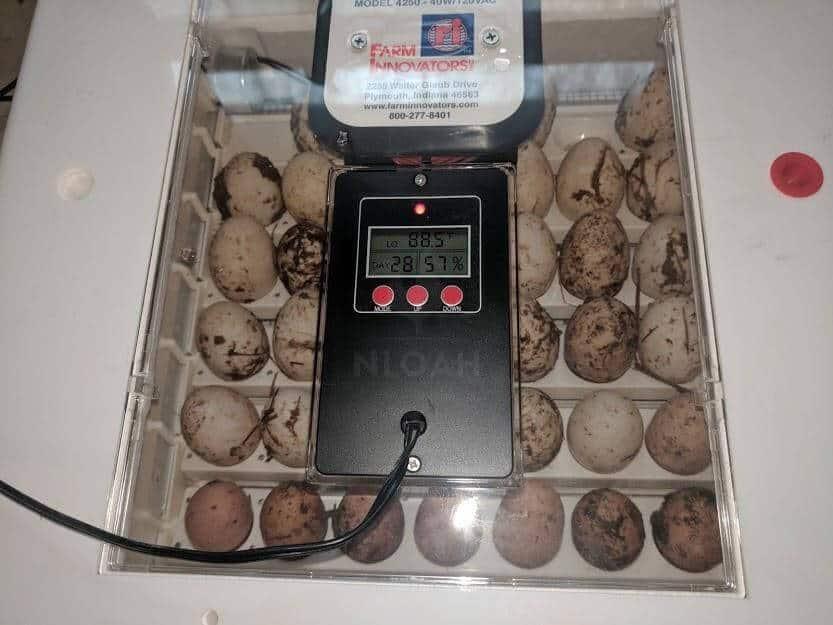 eggs inside an incubator
