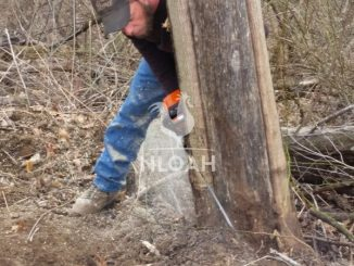 felling a tree with a chainsaw