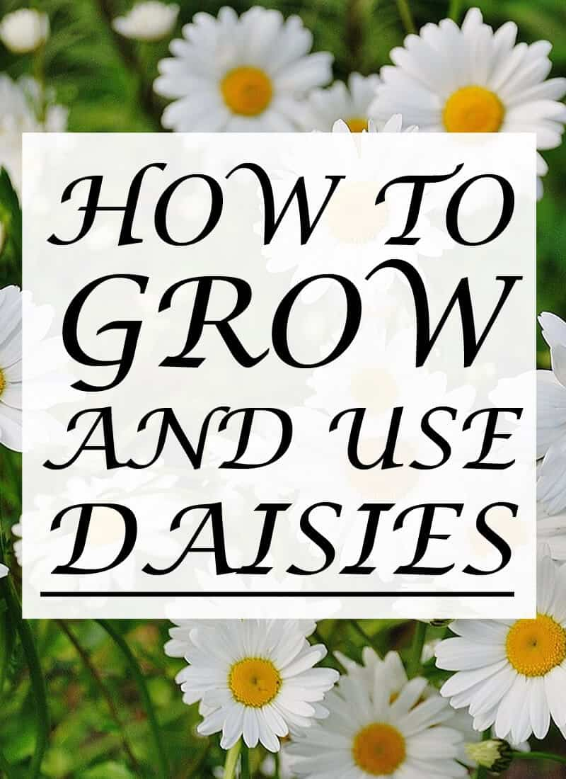 growing daisies pinterest