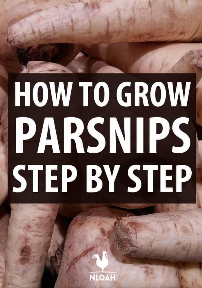 growing parsnips pinterest