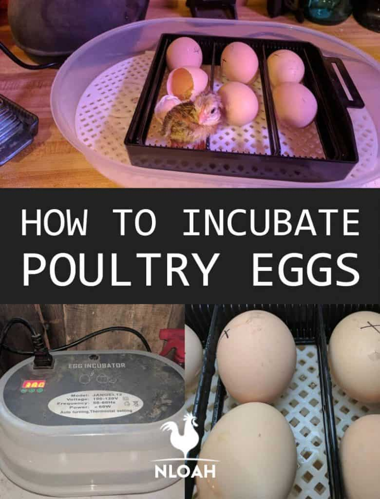 incubating eggs pinterest