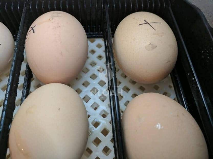 marked eggs inside the incubator