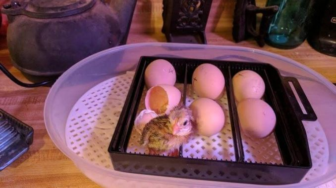 newly born baby chick in incubator