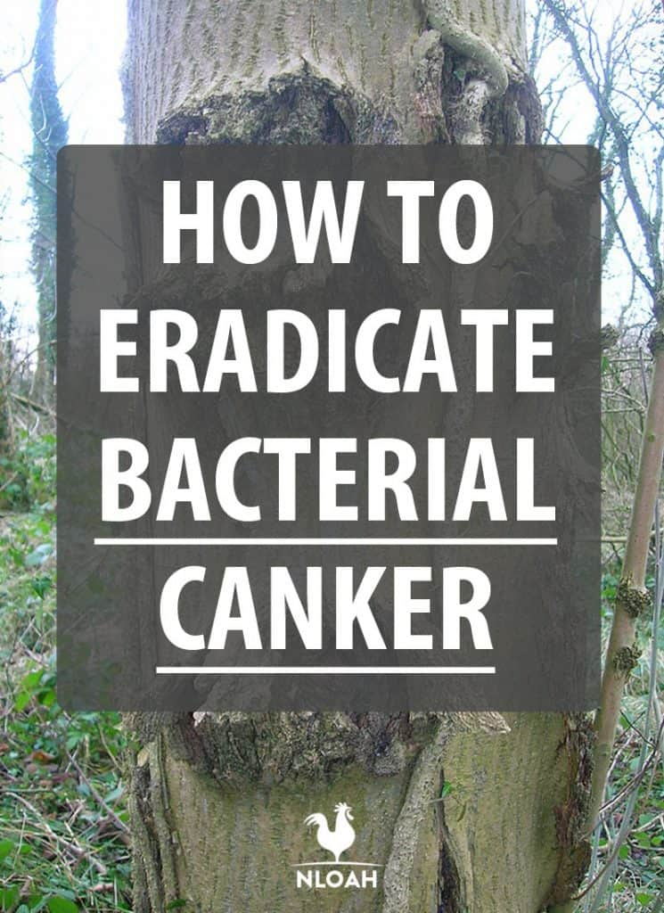 bacterial canker Pinterest