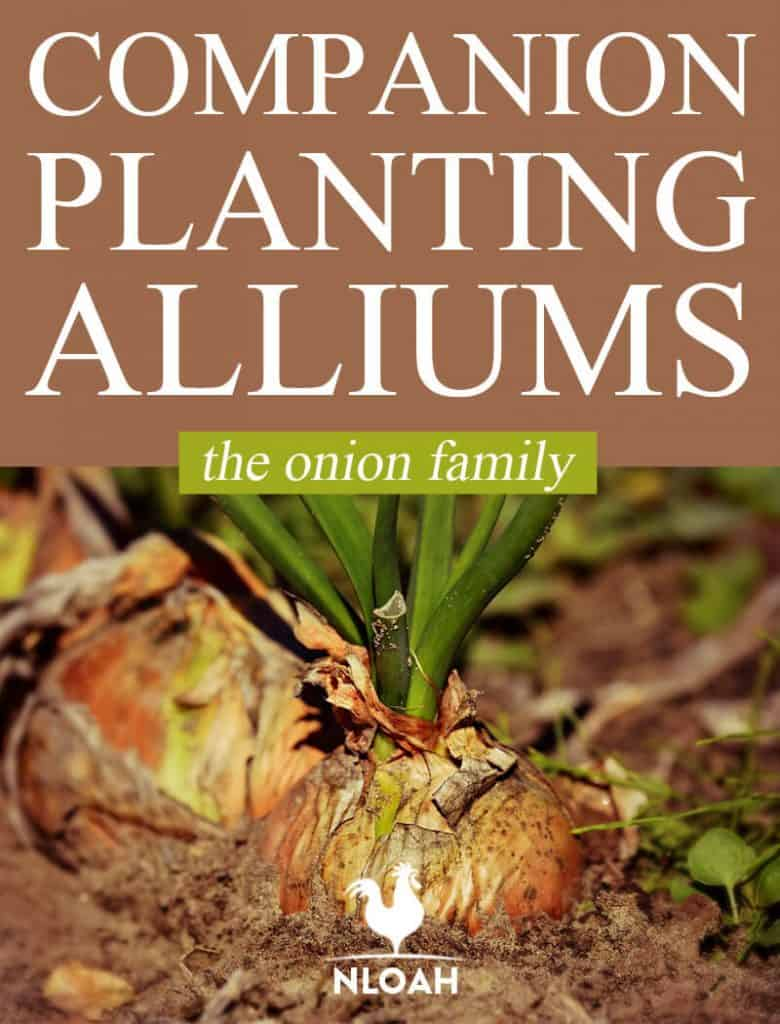 companion planting alliums pin