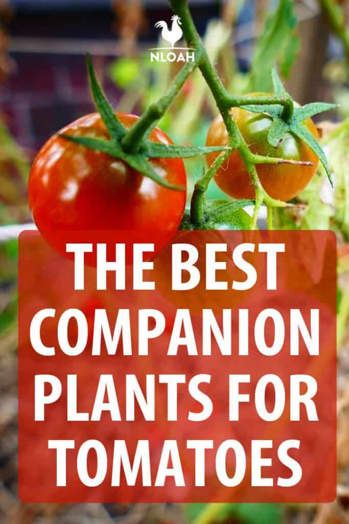 tomatoes companion plants pinterest
