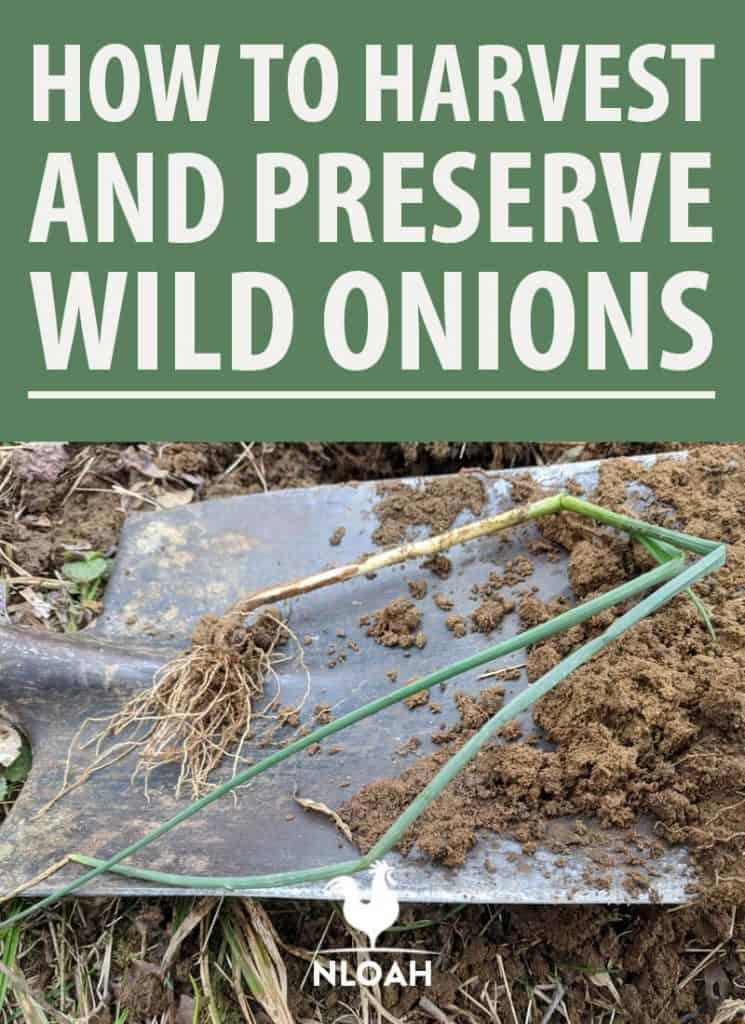 wild onions pinterest