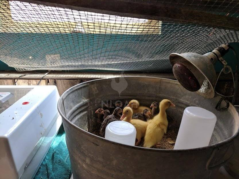 baby ducklings and baby guineas under heat lamp