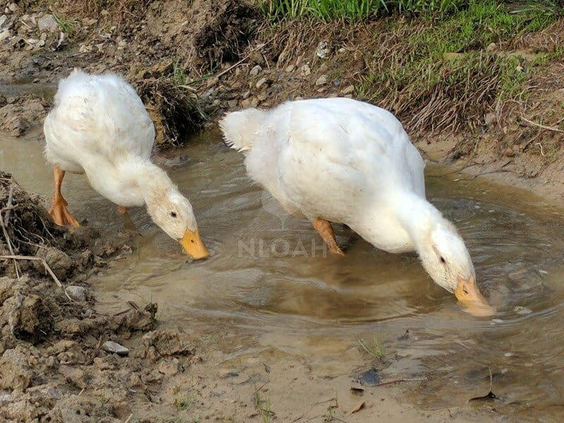 ducks drinking water